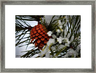 Framed Print featuring the photograph Winter Pine by Guy Hoffman