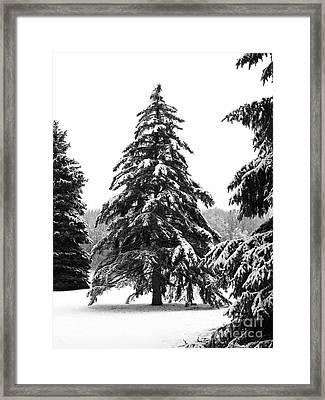 Winter Pines Framed Print by Ann Horn