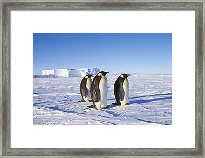 Winter Potrait Of Emperor Penquins Atka Framed Print by Johnny Johnson