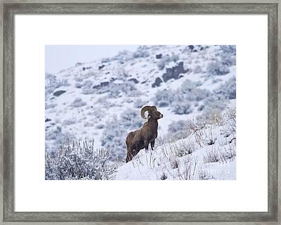 Winter Ram Framed Print by Mike  Dawson