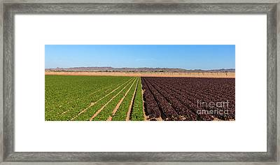 Winter Red And Green Leaf Lettuce Framed Print by Robert Bales