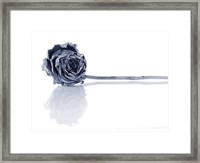 Winter Rose Framed Print by Jim Hughes