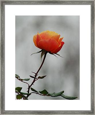 Winter Rose Framed Print