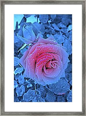 Winter-rose Framed Print