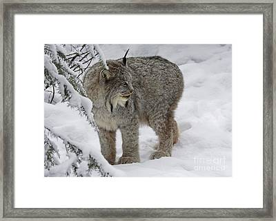 Winter Splendor- Canadian Lynx Framed Print