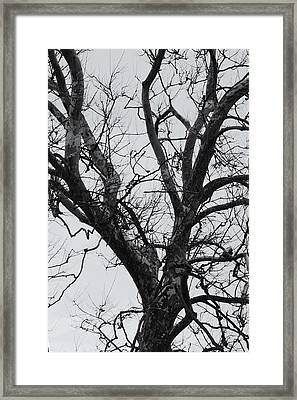 Winter Sycamore Framed Print by Daniel J Kasztelan