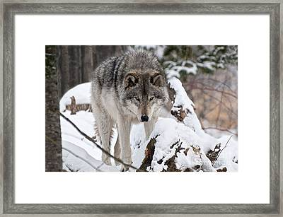 Framed Print featuring the photograph Winter Timber Wolf by Wolves Only