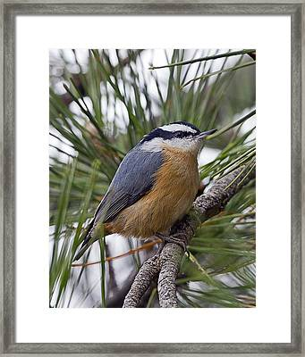 Winter Visitor - Red Breasted Nuthatch Framed Print by John Vose