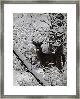 Winter Whitetail 1 Framed Print by Thomas Young