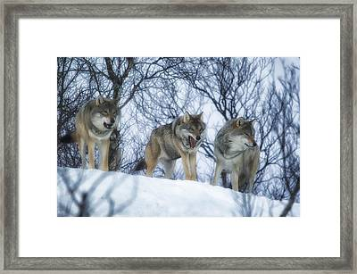 Winter Wolves Framed Print by Wade Aiken