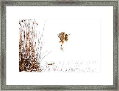 Winter Wonder Dance - Eursian Bittern In The Snow Framed Print by Roeselien Raimond