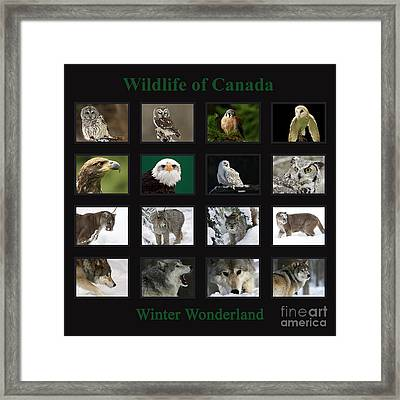 Winter Wonderland Wildlife Of Canada Framed Print by Inspired Nature Photography Fine Art Photography