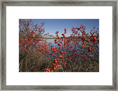 Winterberry #1 Framed Print by Craig Bohanan