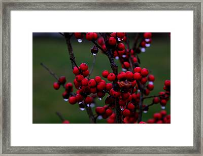 Winterberry Bush After The Rain Number 1 Framed Print