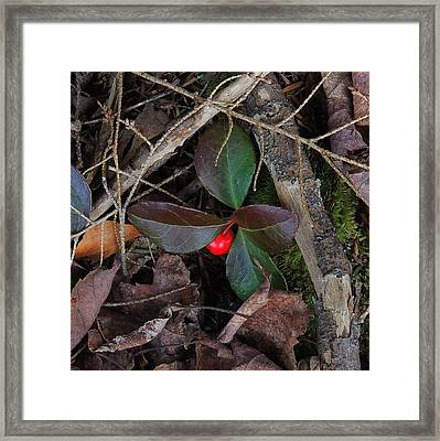 Wintergreen Framed Print by Mim White