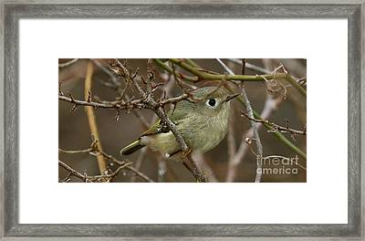 Wintering Ruby-crowned Kinglet Framed Print