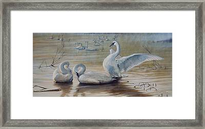 Wintering Trumpeters Framed Print by Rob Dreyer