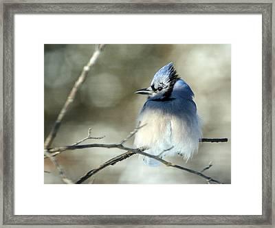 Winter's Jay Framed Print