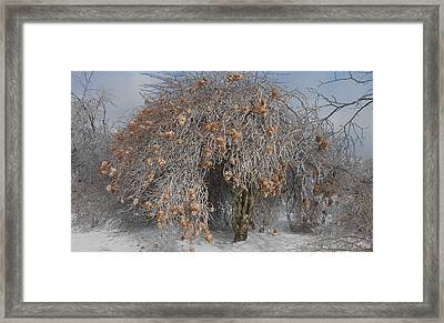 Wintertime Snowball Bush Tree Framed Print