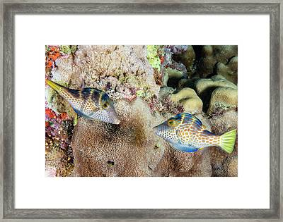 Wire-net Filefish Mating Display Framed Print by Louise Murray