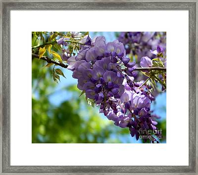 Wisteria Framed Print by Andrea Anderegg