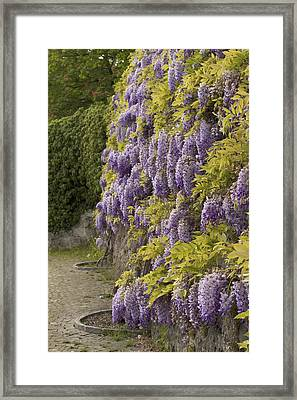 Framed Print featuring the photograph Wisteria by Colleen Williams