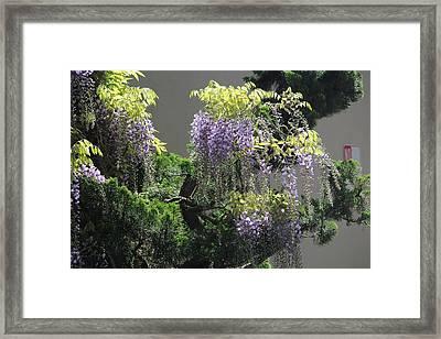 Wisteria Framed Print