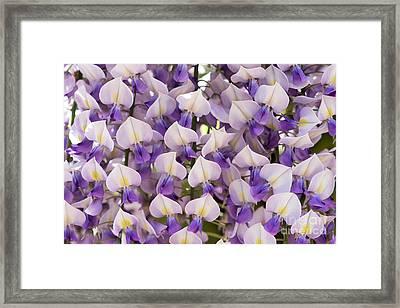 Wisteria Floribunda Domino Framed Print by Tim Gainey