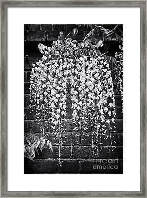 Wisteria Floribunda Kuchi Beni  Framed Print by Tim Gainey