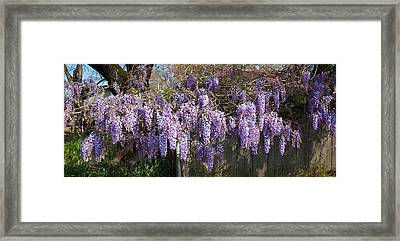Wisteria Flowers In Bloom, Sonoma Framed Print
