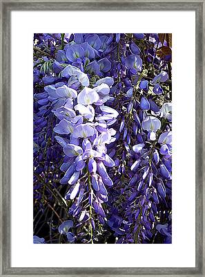 Wisteria II Framed Print by Jodie Marie Anne Richardson Traugott          aka jm-ART