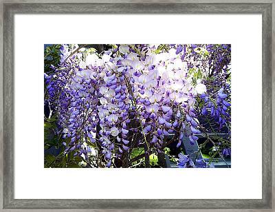 Framed Print featuring the photograph Wisteria by Jodie Marie Anne Richardson Traugott          aka jm-ART