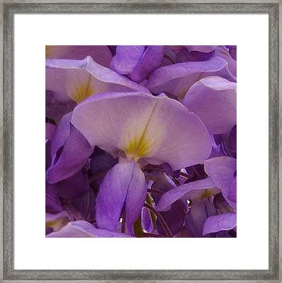 Wisteria Parasol Framed Print by Claudia Goodell