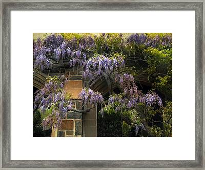 Wisteria Vine Framed Print by Jessica Jenney
