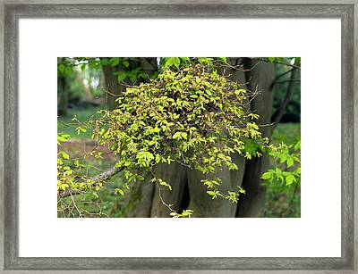 Witches' Broom On Carpinus Betulus Framed Print by Dr Jeremy Burgess