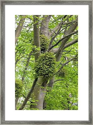 Witches' Brooms On Carpinus Betulus Framed Print by Dr Jeremy Burgess