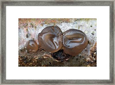 Witches' Butter Fungi (exidia Glandulosa) Framed Print by Nigel Downer