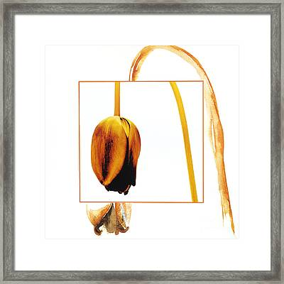 Withered Tulip Flower. Vintage-look Framed Print by Bernard Jaubert