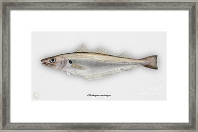 Withing Merlangius Merlangus - Merlan - Merlano - Hvitting - Cod Like Fish - Seafood Art Framed Print