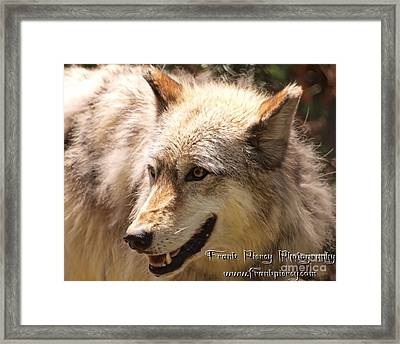 Wolf Close Up Framed Print by Frank Piercy