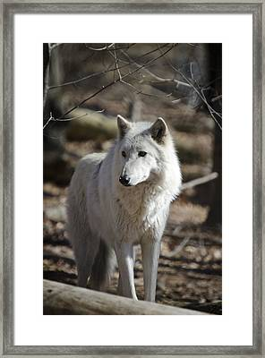 Timber Grey Wolf Framed Print