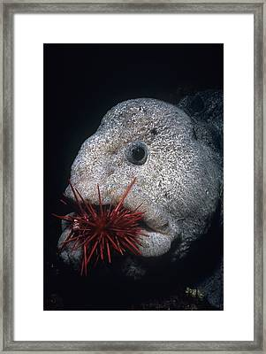 Wolf-eel And Red Sea Urchin Framed Print by Jeff Rotman