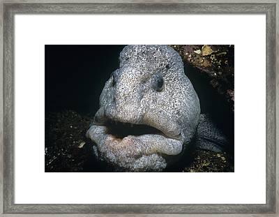 Wolf-eel Framed Print by Jeff Rotman
