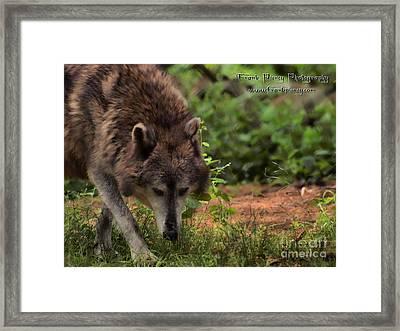 Wolf Framed Print by Frank Piercy