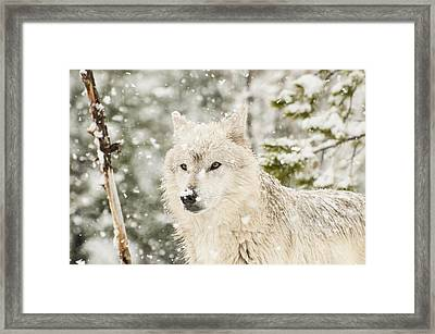 Wolf In Snow Framed Print