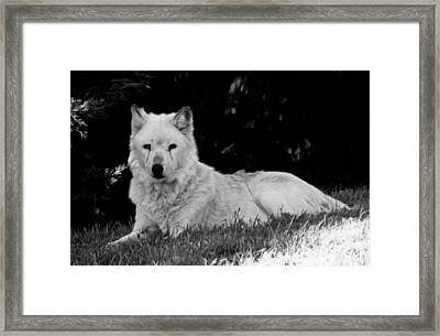 Wolf In The Zoo Framed Print by Victoria Sheldon
