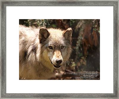 Wolf Intently Framed Print by Frank Piercy
