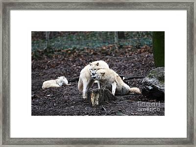 Wolf Kiss Framed Print by John Rizzuto