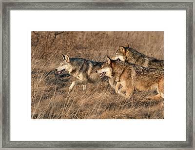Wolf Pack Framed Print by Cheryl Schneider