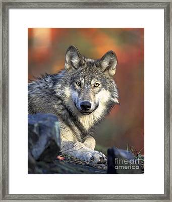 Wolf Predator Canidae Canis Lupus Hunter Framed Print by Paul Fearn